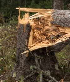 cu fallen tree
